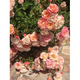 "Rosa ""Kordes Rosen"" Cubana pianta tappezzante in vaso ø19 cm"