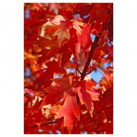 """Acero saccarino argenteo """"Acer saccharinum"""" in vaso h. 100/140 cm"""