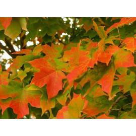 "Acero campestre ""Acer campestre"" pianta in vaso h. 100/140 cm"
