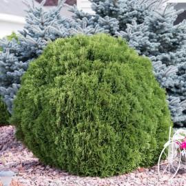 "Thuja occidentalis ""Woodwardii"" a palla pianta in vaso 9x9 cm"