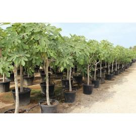 """Fico comune """"Ficus carica"""" in mastello circonferenza tronco 15/20 cm h. 2/2,2 m"""