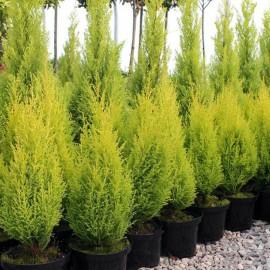 "Cipresso ""Cupressus macrocarpa Goldcrest Wilma"" pianta in vaso ø19 cm h. 60/70 cm"
