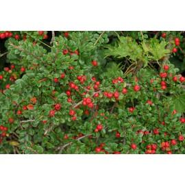 """Cotognastro di Dammer """"Cotoneaster dammeri"""" pianta in vaso 9x9 cm"""